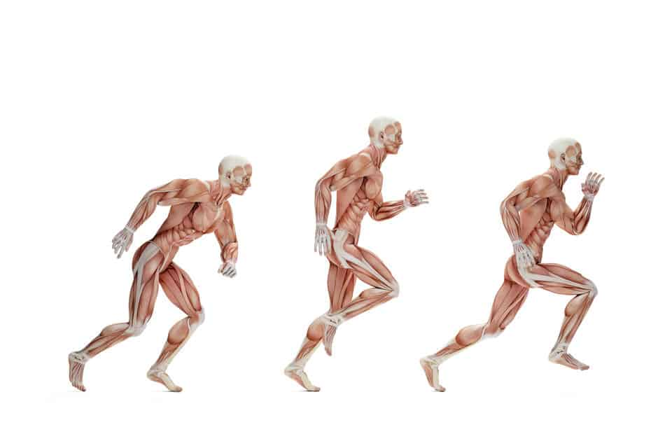 Running Cycle Anatomical Illustration Isolated Over White Contains Clipping Path Running Cycle Anatomical Illustration Isolated Contains Clippi