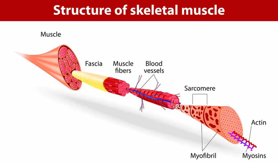 Anatomy illustration of the structure of skeletal muscle.