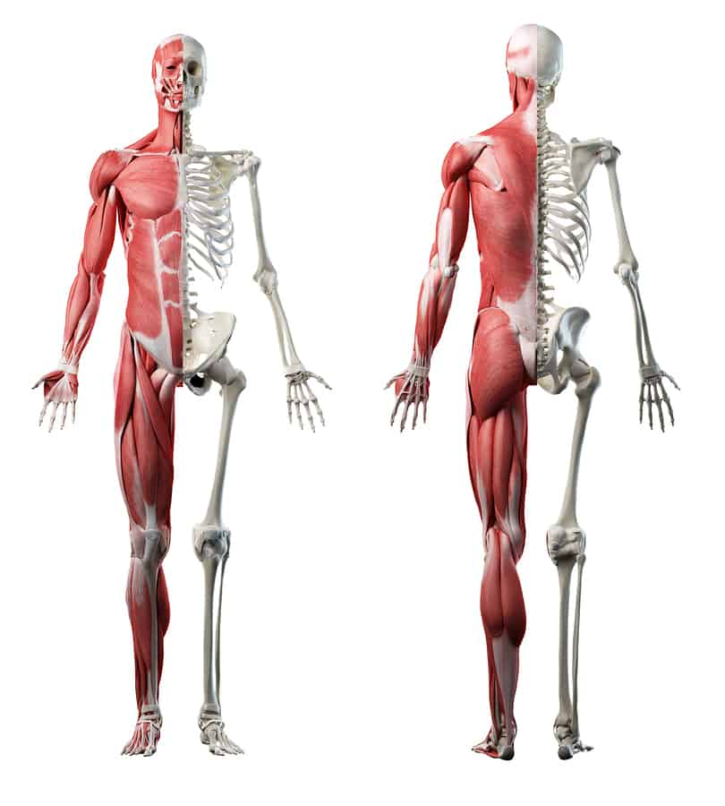 3D skeleton anterior/posterior with musculature