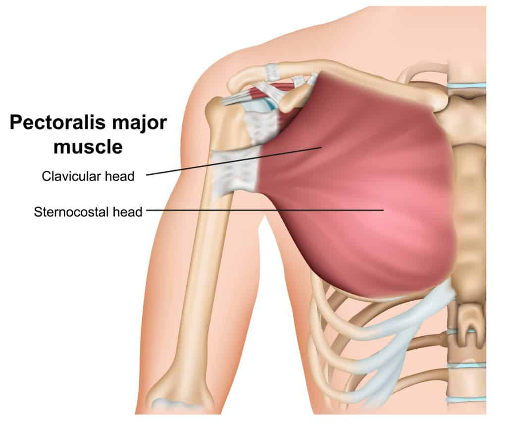 cartoon illustration of the pec muscles; upper body muscle anatomy
