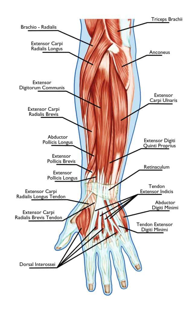 Anatomy of the forearm muscles