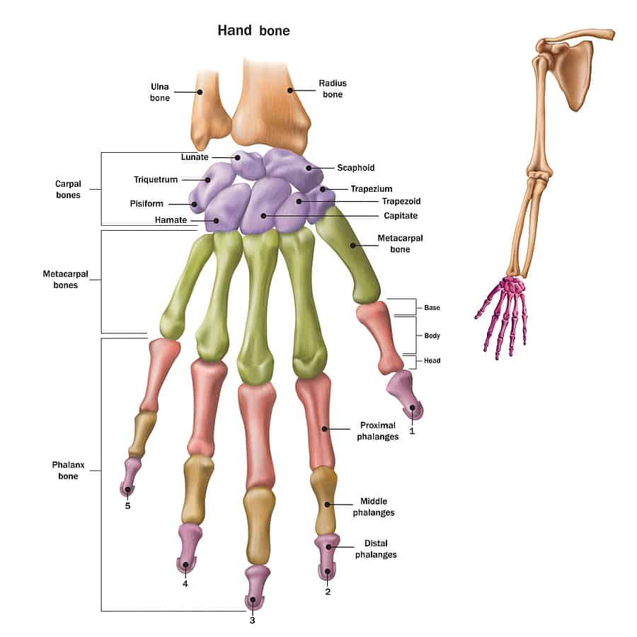 Anatomical illustration of the wrist and hand anatomy.