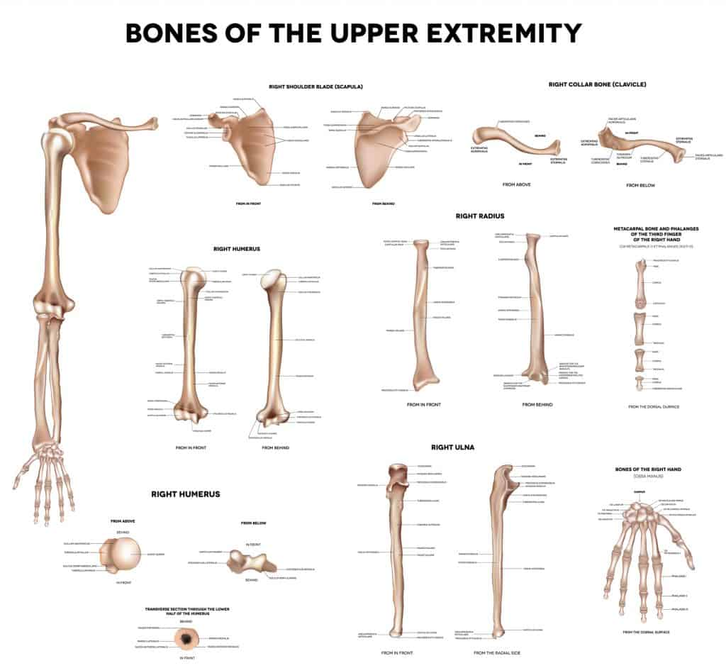 anatomy chart of the bones of the arm for demonstration in an article about how to prevent tennis elbow.
