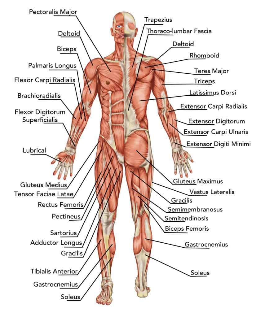 illustration of human muscle anatomy; upper body muscles